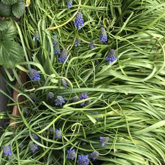 百均柵/フォロー大歓迎/100均/小さい春 ムスカリの花が沢山出てきました。 葉っぱ…