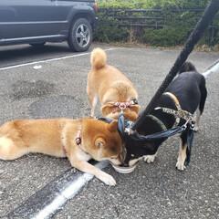 柴犬大好き/愛犬家/三頭飼い/3柴/多頭飼い/柴犬/... 水、飲むの必死です🎵 こむぎは暑すぎてカ…