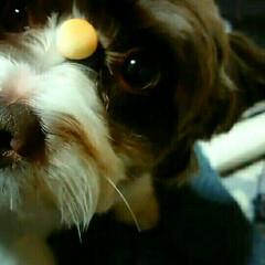 MIX犬/いぬ/犬 上を向くと耳がパタパタひろがってダンボの…