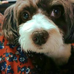 MIX犬/いぬ/イヌ 昨日の実家の愛犬