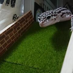 部屋んぽ/爬虫類のいる暮らし/レオパードゲッコー/ヒョウモントカゲモドキ/犬猫以外もいいぞ派/ハンドメイド/... ソファーへと続くスロープ。前面でウロウロ…(1枚目)