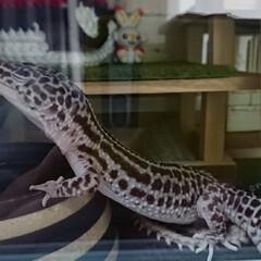 爬虫類のいる暮らし/レオパードゲッコー/ヒョウモントカゲモドキ/ハンドメイド ご無沙汰しております🙇 新型コロナに怯え…(5枚目)