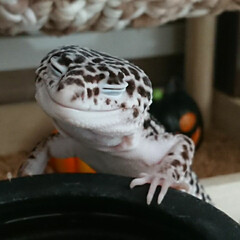 爬虫類のいる暮らし/レオパードゲッコー/ヒョウモントカゲモドキ/次のコンテストはコレだ! 睡魔に負けて立ち寝…幸せそうな寝顔🤭  …(1枚目)