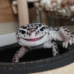 爬虫類のいる暮らし/爬虫類/レオパードゲッコー/ヒョウモントカゲモドキ/次のコンテストはコレだ! テーマ『最高のスマイル』とかどうでしょう…(1枚目)