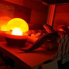 ガチャガチャ/爬虫類のいる暮らし/レオパードゲッコー/ヒョウモントカゲモドキ/朱色 きのこランプ🍄でムーディーな雰囲気に✨(1枚目)