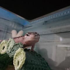 爬虫類のいる暮らし/レオパードゲッコー/ヒョウモントカゲモドキ/100均/ハンドメイド レイちゃん、葉っぱのアーチ使ってくれまし…(4枚目)