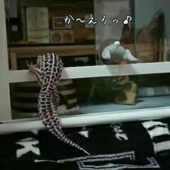爬虫類のいる暮らし/レオパードゲッコー/ヒョウモントカゲモドキ モンちゃんレベルアップ⤴️しました✨部屋…(1枚目)