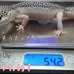 爬虫類のいる暮らし/レオパードゲッコー/ヒョウモントカゲモドキ/ハンドメイド ご無沙汰しております🙇 新型コロナに怯え…(4枚目)