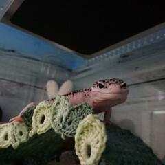 爬虫類のいる暮らし/レオパードゲッコー/ヒョウモントカゲモドキ/100均/ハンドメイド レイちゃん、葉っぱのアーチ使ってくれまし…(3枚目)