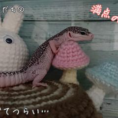 爬虫類のいる暮らし/レオパードゲッコー/編み物/ヒョウモントカゲモドキ/100均/DIY/... 引きこもり生活なので、ちょこちょこ作って…(4枚目)
