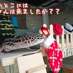 爬虫類のいる暮らし/レオパードゲッコー/ヒョウモントカゲモドキ/クリスマス2019/ダイソー/ハンドメイド クリスマスも終わり、もう今年も残りわすが…(1枚目)