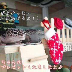 爬虫類のいる暮らし/レオパードゲッコー/ヒョウモントカゲモドキ/クリスマス2019/ダイソー/ハンドメイド クリスマスも終わり、もう今年も残りわすが…(2枚目)