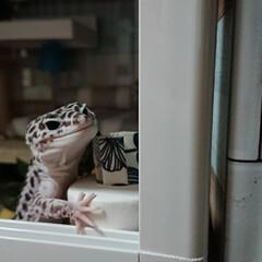 ハンドメイド/あみぐるみ/爬虫類のいる暮らし/レオパードゲッコー/ヒョウモントカゲモドキ GW終わったけど、学校はまだお休み…早く…(2枚目)