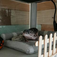 爬虫類のいる暮らし/レオパードゲッコー/ヒョウモントカゲモドキ/ダイソー/100均/DIY/... 2階に目隠し(モンちゃんは自分の目線に何…(1枚目)