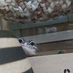 爬虫類のいる暮らし/ヒョウモントカゲモドキ/レオパードゲッコー/ひょこり/次のコンテストはコレだ! フォトテーマ『ひょこり写真』はどうでしょ…