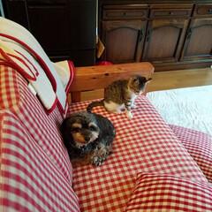ミックス犬/保護猫/ペット/犬/わんこ同好会/猫/... チロとマロはソファでくつろぎ中。 で、チ…