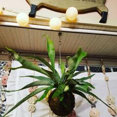 ルームアンドホーム ライト LED コットンボール 10個 M ベージュ 4cm 長さ 1.7m 電池式(LED電球、LED蛍光灯)を使ったクチコミ「コウモリランの苔玉をGETしました🎵 葉…」