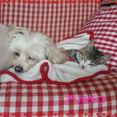 ミックス犬/保護猫/ペット/犬/わんこ同好会/猫/... 10才のアリー(チワプー♀️)と約3ヶ月…