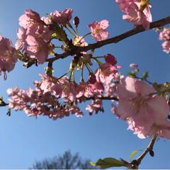 小さい春 河津桜🌸🌸🌸 造園屋さんからお裾分け😊 …