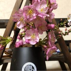 小さい春 河津桜🌸🌸🌸 造園屋さんからお裾分け😊 …(3枚目)