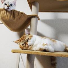エキゾチックショートヘア/短足マンチカン/シャムミックス/キャットタワー/うちの子/うちの猫/... ハンモックの取り合いで勝ったネコと負けた…