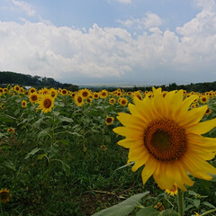 うどん/ひまわり/花の都公園/白鳥ボート/山中湖/富士山/... 夏の終わりに、山中湖の温泉旅館へ一泊して…