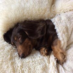 おやすみ/ペット/犬 まだまだ眠い💤💤 このふわふわ大好き💕