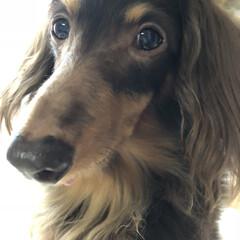 ダックスフンド/ペット/犬 ~~~ヾ(^∇^)おはよーございます♪ …