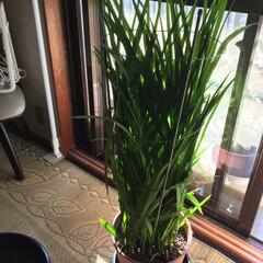 グリーン 去年のフリージアの球根植えたらこんなにな…(1枚目)