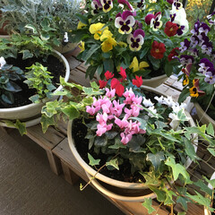 グリーン/ガーデンシクラメン 冬に植えたガーデンシクラメンまだ頑張って…