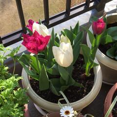 グリーン/春の一枚 こんなに綺麗なチューリップが咲きました。