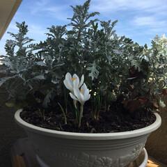 グリーン 白のクロッカス咲きました。