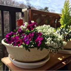 グリーン アリッサムが元気に咲いてます。 いつもは…