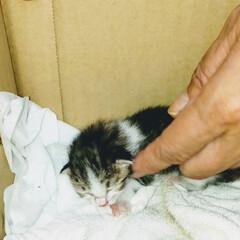 超小さい😍/保護猫/子ねこ へその緒の付いた子猫を保護けど 猫アレル…(1枚目)