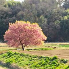 サクラ/春の一枚 満開を少し過ぎた感がありますが柔らかな春…