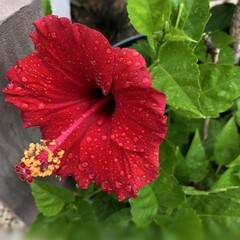 植物のある暮らし/ハイビスカス/住まい/暮らし/夏のお気に入り 冬の間、室内でけっこう放置しすぎて、枯れ…