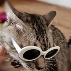 やまと君/天ちゃん/保護猫/DAISO/猫グッズ ダイソーで見つけたペット用サングラス🕶 …