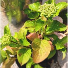 オレガノ/寄植え/花壇/紫陽花/風景/暮らし/... 今日まだ大雨のところは、気をつけてくださ…
