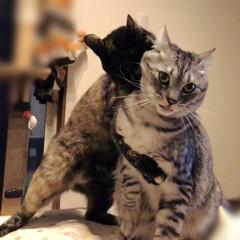 天ちゃん/やまと君/保護猫 少し前の写真ですが、天ちゃんのお転婆っぷ…