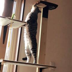 猫/キャットウォーク 夕方の運動中のひとコマ。 板にくっついた…