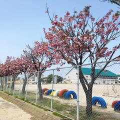 フォロー大歓迎/小学校/八重桜/風景        2020.4.30(木) …