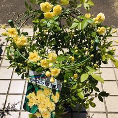 KOMERI/ガーデン雑貨/フォロー大歓迎/花/ガーデニング/モッコウバラ/...  黄色のモッコウバラ小花が可愛い庭の仲間…(1枚目)