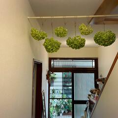 紫陽花/突っ張り棒/100均/廊下/玄関/庭/... 庭のアナベル白からグリーンに変わり☀️晴…(6枚目)