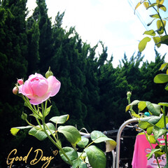 フォロー大歓迎/花のある暮らし/風景/薔薇/庭/住まい/...        2020.7.22(水) …