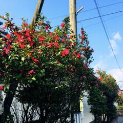 椿/フォロー大歓迎   青空と椿