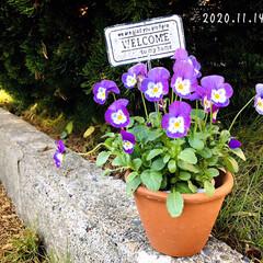100均/ガーデンピック/フォロー大歓迎/庭/リミとも部/花のある暮らし/...        2020.11.14(土)…
