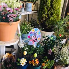 花/イースターピック/ガーデニング/イースター/フォロー大歓迎/わたしのお気に入り     3/17(日) 玄関前の鉢植えに…(1枚目)