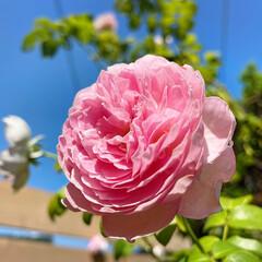 薔薇/オレガノケントビューティー/ブラキカムブラスコ/ビオラ/サフィニアアートももいろハート/ペンタス/... 2021.8.3(火)  おはようござい…(5枚目)