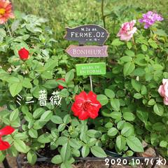 フォロー大歓迎/ガーデン雑貨/ガーデンピック/リミとも部/ミニ薔薇/庭/...        2020.10.7(水) …