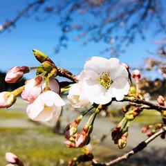 お花見/青空/フォロー大歓迎/ドライブ/風景/桜/...        2020.4.3(金)  …(4枚目)